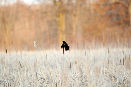 A sign of spring, a red-winged blackbird makes mating calls in a swampy field along a dirt road in northern Oakland County. (Tanya Moutzalias | MLive Detroit)